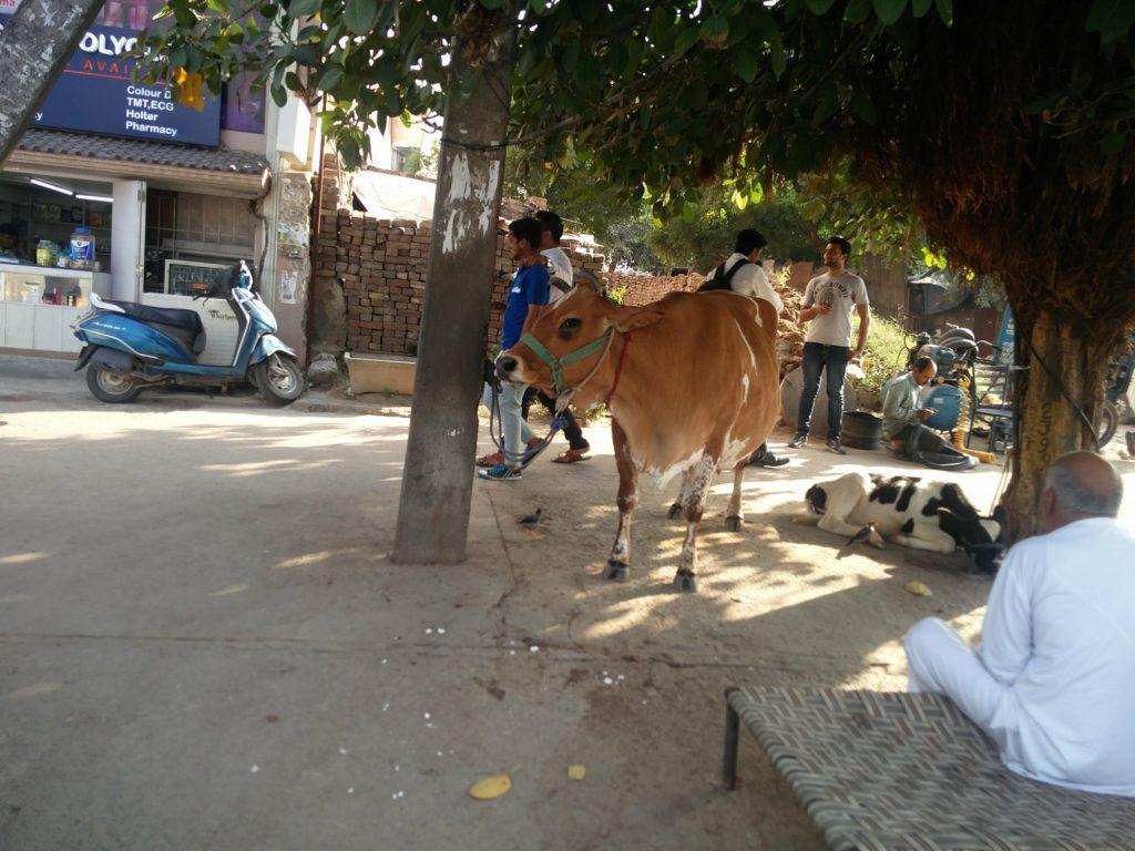 cow new delhi