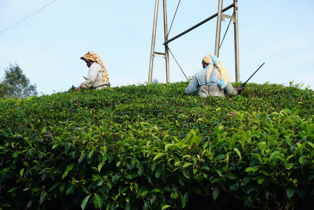 harvesting tea kerala